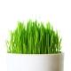 Herbe de blé crue bio en poudre 240g